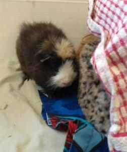 """Young Male Small & Furry - Guinea Pig: """"Grizzly"""""""