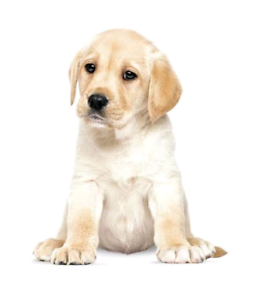 Wanted: Wanted - Labrador Puppy