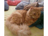 Lion the Long Haired Ginger Male Cat
