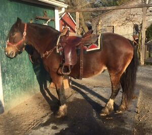 TRAIL SAFE GYPSY VANNER CROSSBRED MARE