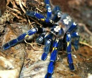 P Metallica Spider with tank and accessories