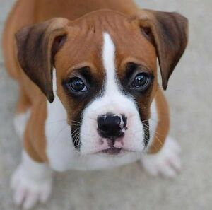 NOT SELLING looking for boxer puppy