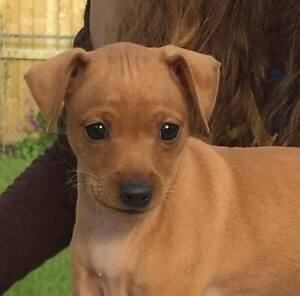 Pure Bred Red Miniature Pinscher puppies