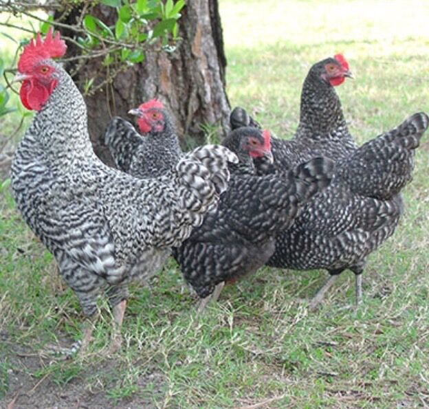 Cuckoo maran chickens pure in boroughbridge north for Maran house