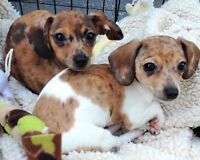 Reputable Rescue seeking home for 3.5 month old Chiweeinies