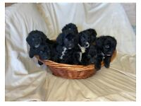 Cockerpoos puppies for sale ( ready to go)