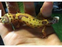 Female het eclipse leopard gecko