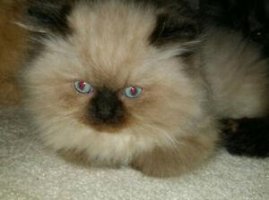 *Ragdoll face persian kitten*