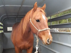 2 1/2 yr. old Unregistered Quarter Horse filly for sale