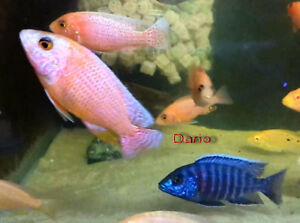 """African Cichlid Dragon Blood Peacocks 2"""" to 4"""" London Ontario image 1"""