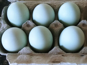 Cream Legbar Hatching Eggs / Fertile Eggs