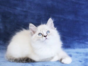 Beautiful Ragdoll Female kittens are ready for their new homes