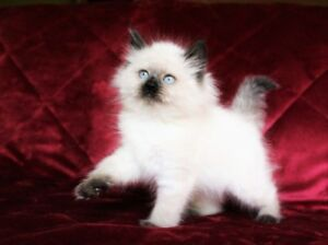 Colorpoint Persian  kittens are available for adoption