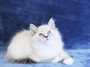 Bi-Colour Ragdoll Female Kittens for Rehoming