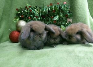 Baby Bunnys Rabbbits 🎅🏼mini lops litter sooty fawn life time support
