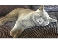 12WEEK BLUE GIRL BRITISH SHORTHAIR KITTEN CAT CATS KITTENS