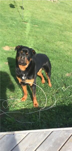 Male, Pure-Bred Rottweiler - 4 years old.