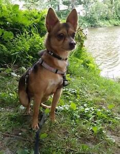 "Adult Female Dog - Chihuahua-Miniature Pinscher: ""Gypsy"""