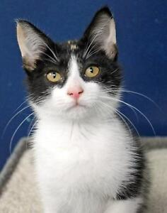 """Baby Female Cat - Domestic Short Hair: """"Cranberry"""""""