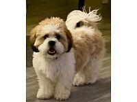 Maltichon puppy 🐶 9months old female