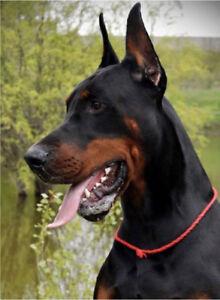 CKC Registered 100% European Doberman Puppies