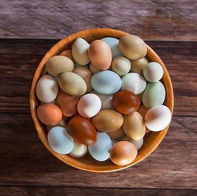Fertile Hatching Eggs 1 Dozen - Assorted Layers