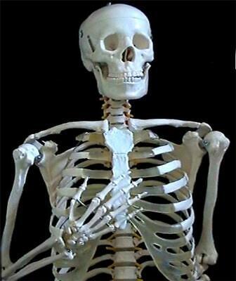 Life Size Human Anatomical Skeleton 170cm For Student Doctor