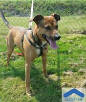 "Adult Male Dog - Pit Bull Terrier: ""Cooper"""