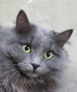 "Adult Female Cat - Domestic Long Hair: ""Bella"""