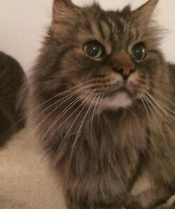 """Adult Male Cat - Domestic Long Hair: """"Funny Face"""""""