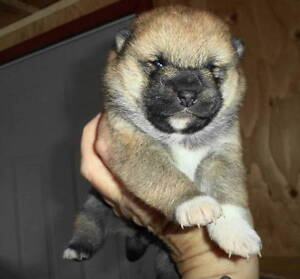 CKC registered shiba inu pups(2 male pups still available)