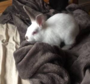 8 month old male bunny (fixed and litter box trained)
