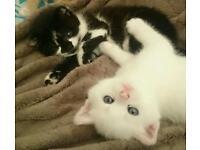 3 Adorable Angora Kittens 2 SOLD 1 LEFT