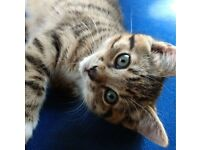 ADORABLE CUDDLY FEMALE TABBY KITTEN FOR SALE