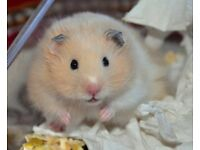 ��13, Really cute, longhaired, 8weeks old male hamster.