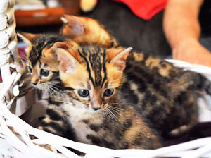 Handsome Reg Bengal kittens