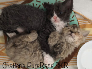 Chats moutons * Selkirk rex