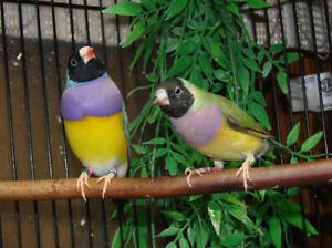 Gouldian Proven Breeding Pair