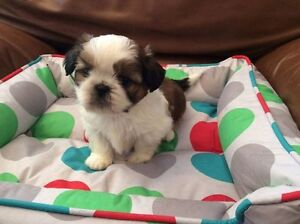 shih tzu PURE RACE  toy male 6 livres adulte