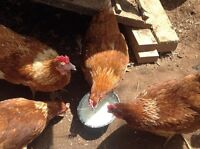 Sold PP in 3 weeks-Laying hens