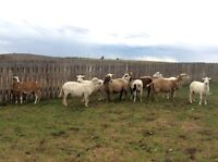 Sheep Herd Dispersal - Ewes for Sale