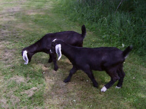 Goats for sale  -   SOLD  -