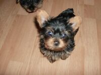 pure bred yorkie tea cup adorable puppies
