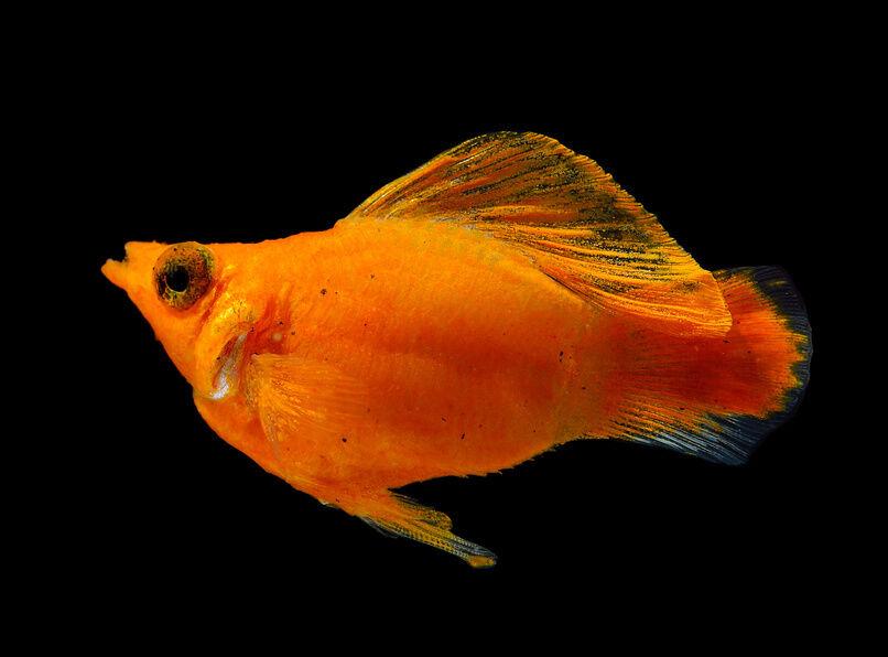 Top 10 freshwater aquarium fish ebay for Peaceful freshwater fish