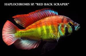 Red Back Scraper.....stunning and very rare African Cichlid Ormeau Gold Coast North Preview
