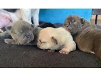 French bulldogs KC reg, Rainbow litter!!