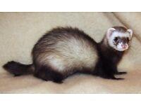 Ferret polecat missing near skewen