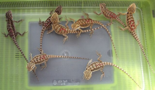 Stunning baby bearded dragons - het translucent, hypo, coral for sale | in  Dunfermline, Fife | Gumtree
