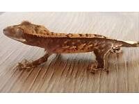 Crested gecko hatchlings for sale