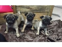 KC REGISTERED Pug Puppies **3 GIRLS LEFT** -READY NOW!!-